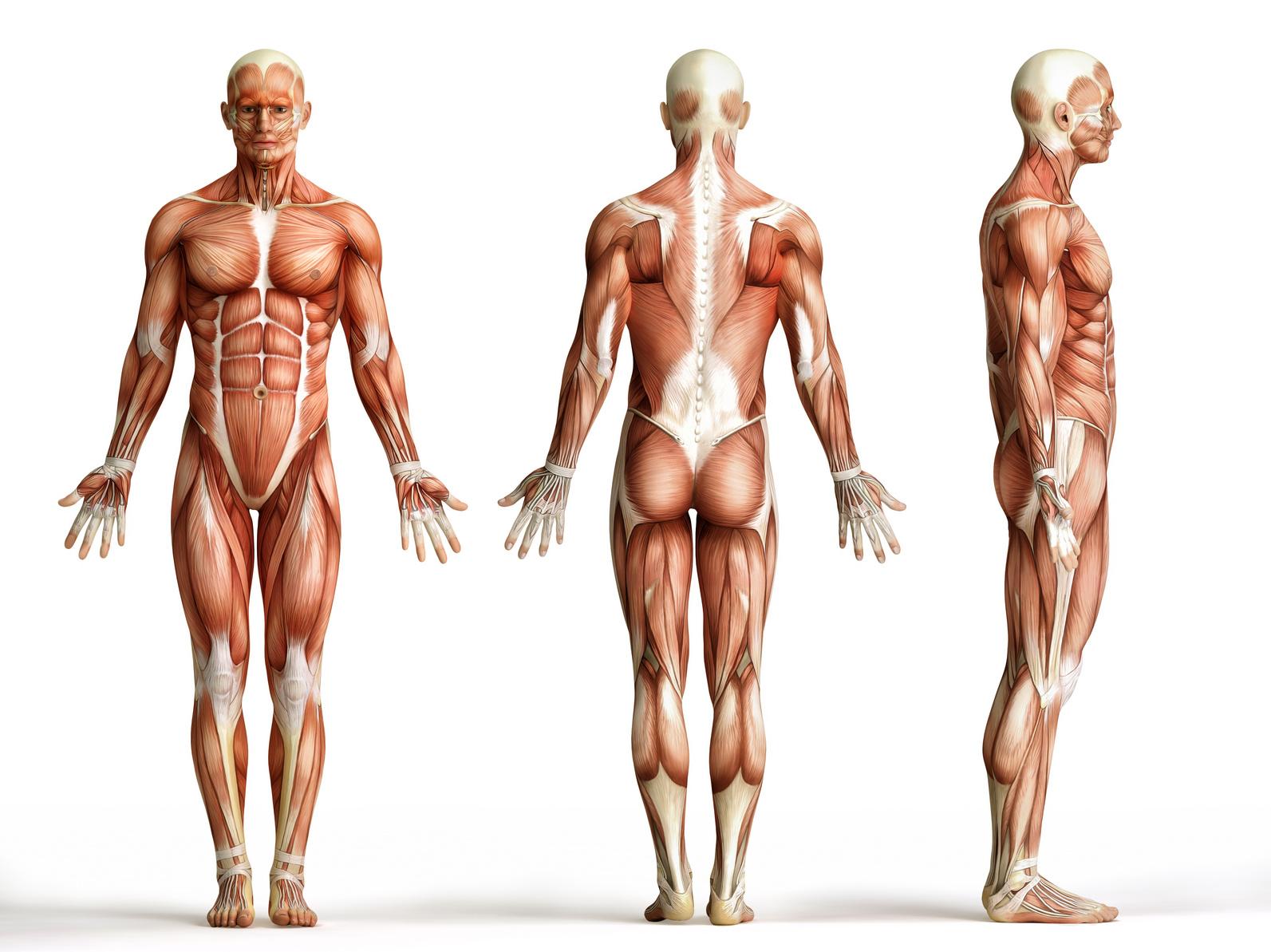 Muskuläre Dysbalance – Der Einblick in die funktionale Muskulatur ...